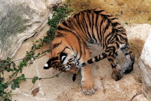 A Tiger by the Tail! (Photo: Kimberly Brown-Azzarello, http://www.flickr.com/photos/kb-a/)